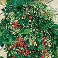 Erdbeer-Bäumchen Aromastar, 5 Stück von Amazon.de Pflanzenservice - Du und dein Garten