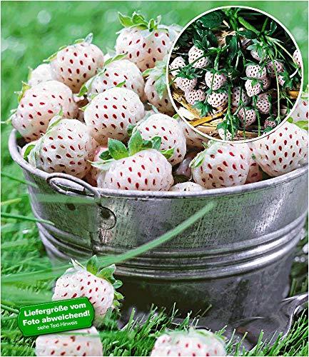 erdbeerpflanzen senga sengana BALDUR-Garten Weiße Ananas-Erdbeere 'Natural White', 3 Pflanzen & 1 Pflanze rote Erdbeere Senga Sengana, Fragaria winterhart