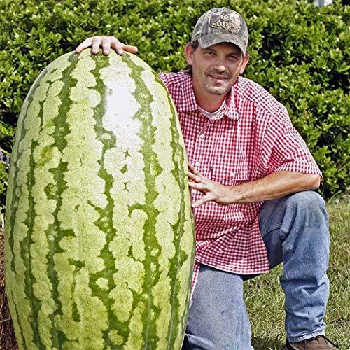 Tomasa Samenhaus- 10 Stücke Wassermelone Sugar Baby,Garten Heim Bio Pflanzen Essbare Frucht Gaint Wassermelone Samen mehrjährig Obstsamen für Garten,Bauernhof