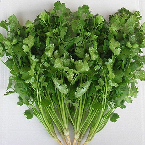 Coriandre Arôme Vert - Coriandrum sativum - 10.000 Graines