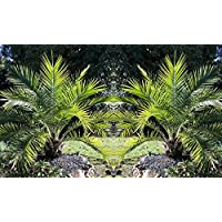 Pair of 1-1.2m Canary Island Phoenix Date Palms - Perfect for Patio Planters