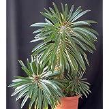 Pachypodium lamerei - palmera de Madagascar - 5 semillas