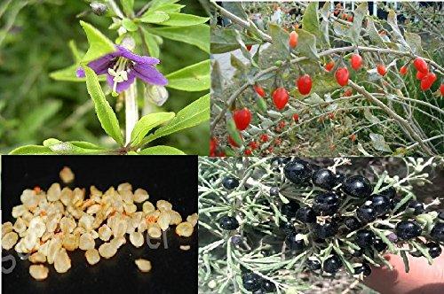 semillas-de-bayas-de-goji-100-negras-lycium-ruthenicum-y-100-rojas-lycium-barbarum-mezcla-en-oferta