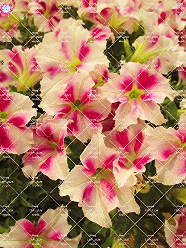 100pcs rares Couleur Petunia Graines Bonsaï Graines de fleurs vivaces Court Taille Jardin Fleurs Graines d'intérieur ou Ourdoor Pot 4 Plante