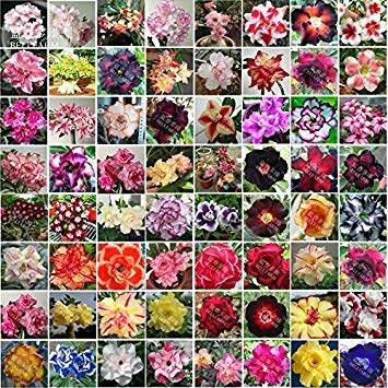 Bellfarm Bonsai mixte 64 Types de Adenium Desert Rose Seeds, 100pcs / paquet, noir jaune rouge rose bleu blanc etc belles combos