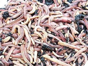 KOMPOSTWÜRMER - 1500 Stück/Sack - Ideale Kompoststarter Regenwurm - aktive Eisenia Regenwürmer - Würmer für den Kompost, Komposter, Komposttoilette, Wurmkomposter, Wurmkiste und Wurmfarm
