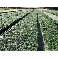 FARMERLY Las Semillas orgánicas: Mondo Grass, Hierba Corta Siempre Verde, 100 re raíces (pips)