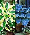 """BALDUR-Garten Riesen-Hosta Funkien Sortiment """"Halycon"""" und """"Brim Cup"""", 4 Knollen von Baldur-Garten bei Du und dein Garten"""
