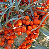(25 graines) Hippophae rhamnoides/argousier / Mer nerprun cathartique/Sandthorn / Swallow Thorn