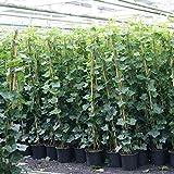 Efeu - Hedera Hibernica 175/200cm - Immergrüne Kletterpflanzen für eine 100% Sichtschutz Hecke - Winterhart   ClematisOnline Kletterpflanzen & Blumen