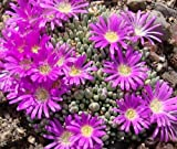 Delosperma sphalmanthoides - Tufted Ice Plant – 15 Samen