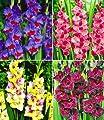 """BALDUR-Garten Riesen-Gladiolen-Kollektion,40 Zwiebeln Gladiolus Mischung """"Zigeunerbaron"""", Invitation"""", """"Mon Amour"""", """"Schönheit der Nacht"""" von Baldur-Garten - Du und dein Garten"""