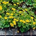 Waldsteinia, 5 Pflanzen von Amazon.de Pflanzenservice - Du und dein Garten