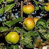 Dominik Blumen und Pflanzen, Apfelbaum,