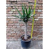 Yucca elephantipes, tronchetto della felicità 90 cm, cactus, pianta grassa - Piante Radice Nuda