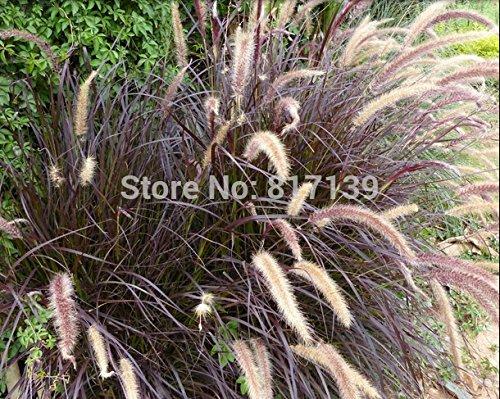 Nouveau jardin des plantes 20 Seeds Véritable Perennial Violet FOUNTAIN GRASS, Pennisetum Alopecuroides Herb Seeds Livraison gratuite
