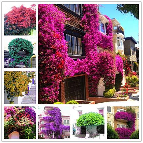 SONIRY Bonsai 100 Stück Kletter Bougainvillea Pflanze Bougainvillea spectabilis Willd Kletterpflanzen Blume für Hausgarten-Leicht zu wachsen: Mix