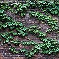 40 teile/beutel efeu samen Creeper Samen Grün anti-strahlung ultraviolette strahl bonsai pflanzen kletterpflanzen für haus und garten von Star Supermarket - Du und dein Garten