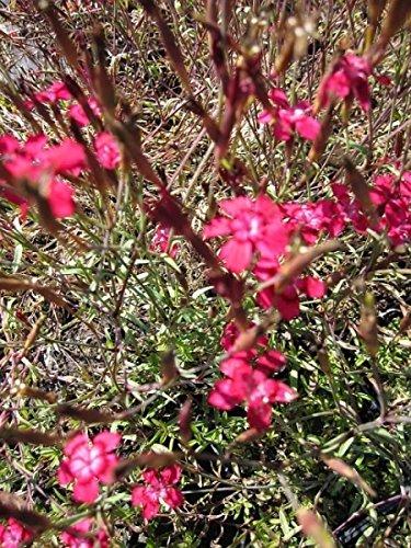 Heidenelke Brillant - Dianthus deltoides Brillant