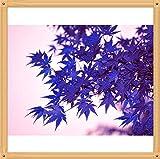 10PC Rare Aqua-Blau-Ahorn-Samen. Die Farbe der neuen Sorten von Pflanzen natürlich gewachsenes Bonsai-Baum natürlich entstandenes