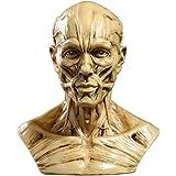 MagiDeal Modèle Humain Crâne Anatomie Muscle Mannequin