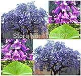 Shopmeeko schnell wachsende violette Paulownia Pflanze 100PC, schnell wachsende Pflanze Bäume Baum Pflanze für Heimtextilien