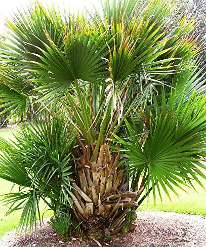 10 Samen Sabal minor, Zwerg Palmetto Palme, bis -15°C.