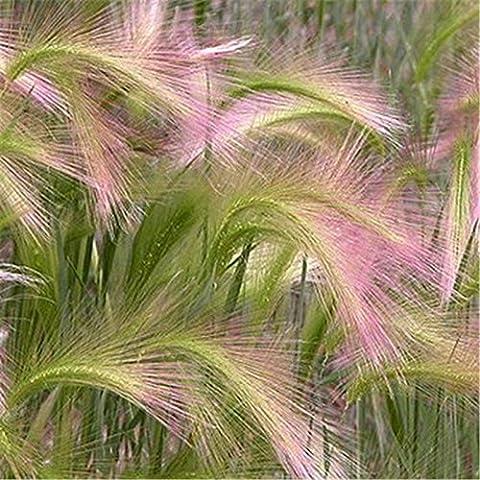 semillas de plantas bonsai semillas de cebada jardín de DIY - 10pcs / lot