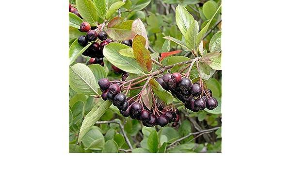 1 Pianta di Aronia Melonocarpa maturazione in autunno