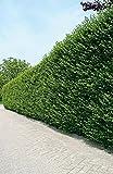 Ovalblättriger Liguster -Ligustrum Ovalifolium- Hecken-Pflanze immer-grün wurzelnackt - Ligusterhecke von Garten Schlüter (wurzelnackt 60-100 cm im 5er-Bund) - Pflanzen in Top Qualität