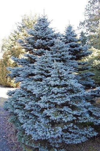 Tree Seeds Online - Picea Pungens Glauco. Colorado Blau Fichte. 50 Samen - 1 Packung