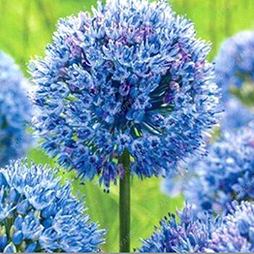 30pcs / sac géant oignon (Allium giganteum) graine rare bonsaï belle fleur plantes en pot de fleurs jardin Livraison gratuite Noir