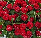 Pinkdose 20pcs / sac super baume rare jardin bonsaï Double impatiens fleur pour le jardin à la maison facile à cultiver variété rare: 7