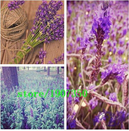 VENTE CHAUDE jardin et la maison Promotion! Une grande quantité de graines de fleurs de lavande 250 pcs / lot pour le jardinage