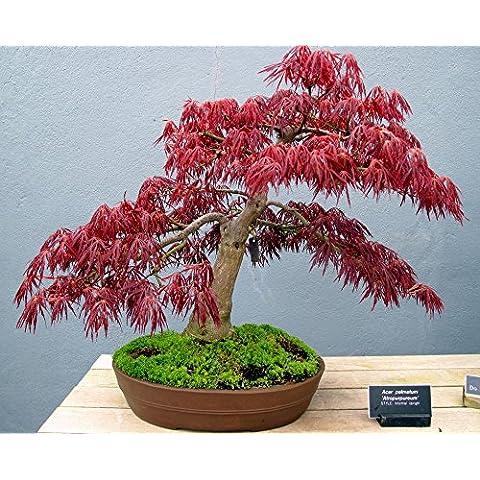 Red Maple GIAPPONESE - Acer palmatum atropurpureum -20 semi R012 - Red Fioritura Alberi
