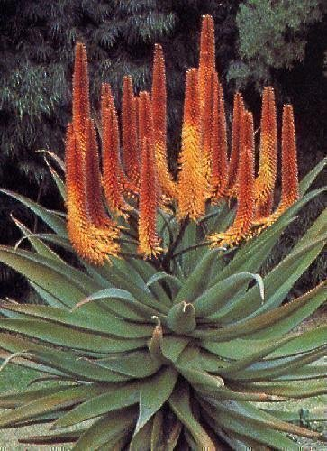 Tropica - succulents - Aloé du Cap (Aloe Ferox) - 20 graines
