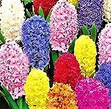 20 große Hyazinthen Blumenzwiebeln Größe 14-16 bunte Farbmischung