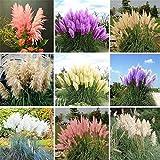 Couleurs mélangées rares Pampas herbe Semences, cour donc magnifiquement décorée Cortaderia Selloana Grass - 900pcs / lot