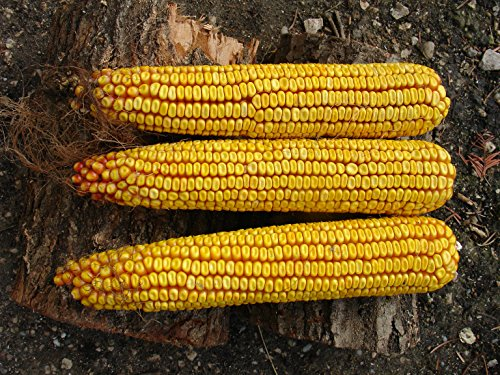 Historical Hungarian Giant corn, NO GMO, NO Hybride, 20 graines
