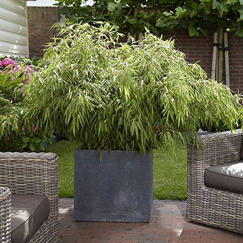 Large garden pots amazon yougarden fargesia fountain bamboos plants pair workwithnaturefo