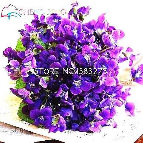50pcs-belle-plante-bonsai-graines-de-fleurs-rouge-pourpre-africaine-mini-blue-sky-violet-graines-rar