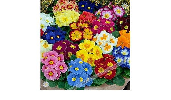Kemanner 100 teile//beutel Kaktus Samen Bonsai Mehrj/ährige Seltene Sukkulenten Samen B/üro Blumensamen
