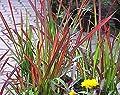 Baumschule Anding Japanisches Blutgras Imperata cylindrica - Red Baron - von Baumschule Anding auf Du und dein Garten