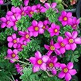 Importierte Glühbirnen, 2pcs/lot kleine Zwiebeln lila Oxalis stenorrhyncha Samen schöne Blume Bonsai Pflanze DIY Hausgarten # O323