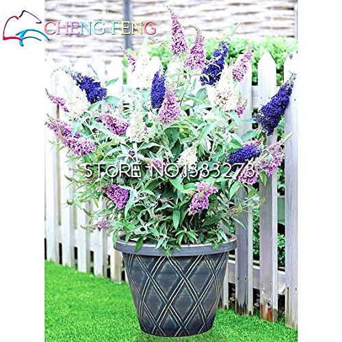 Un cadeau Kids On Sale 20 Graines semences Buddleja végétaux Plantes SeedsAndPlants Fleur Lure poisson Herbe Easy Grow Seeds Rare Pot Mini Bonsai Balcon