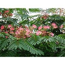 Seidenbaum Albizia julibrissin Schlafbaum Pflanze 20cm Seidenakazie tolle Blüten