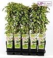 Blumen Senf Schling-Knöterich 60-70 cm - Fallopia aubertii - Sehr starkwüchsig, reichblühend von Blumen Senf auf Du und dein Garten