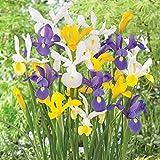 Iris hollandica Mix Blumenzwiebeln Gr.7/8 Holländische Schwertlilie - mehrjährig - winterhart - SAISONWARE - NUR KURZE ZEIT ERHÄLTLICH