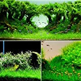 Yongse Yani Aquatic Plant Seeds Indoor Ornamental Grass Seed Grass Landscaping Decoration