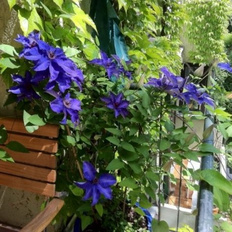 Clematide the president (per balcone e patio) - vaso 1,5 litro (pianta rampicante - clematis blu - pianta adulta) - muri e recinzioni, pergola, balconi e terrazze | clematisonline